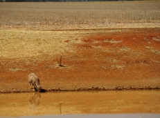 Sheep seek some water during the scorching heat, on a property in Junee. 2014.